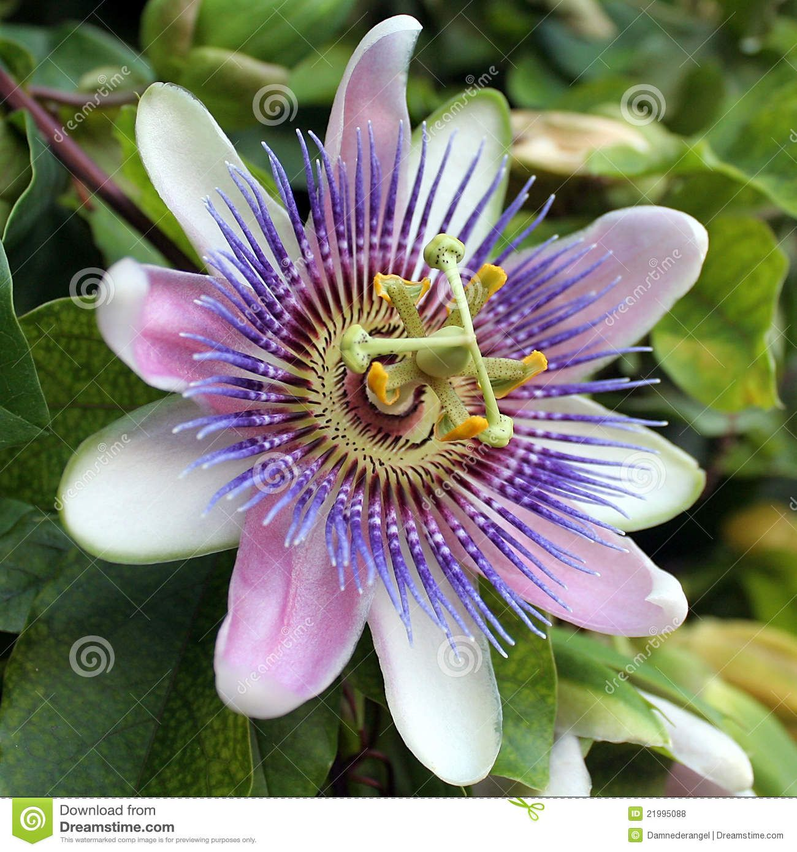 Passiflora Caerulea Blue Passion Flower Blue Passion Flower Passiflora Caerulea Passion Flower