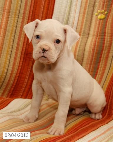 Texas Boxer Puppy For Sale In Middleburg Pa Boxer Puppy For