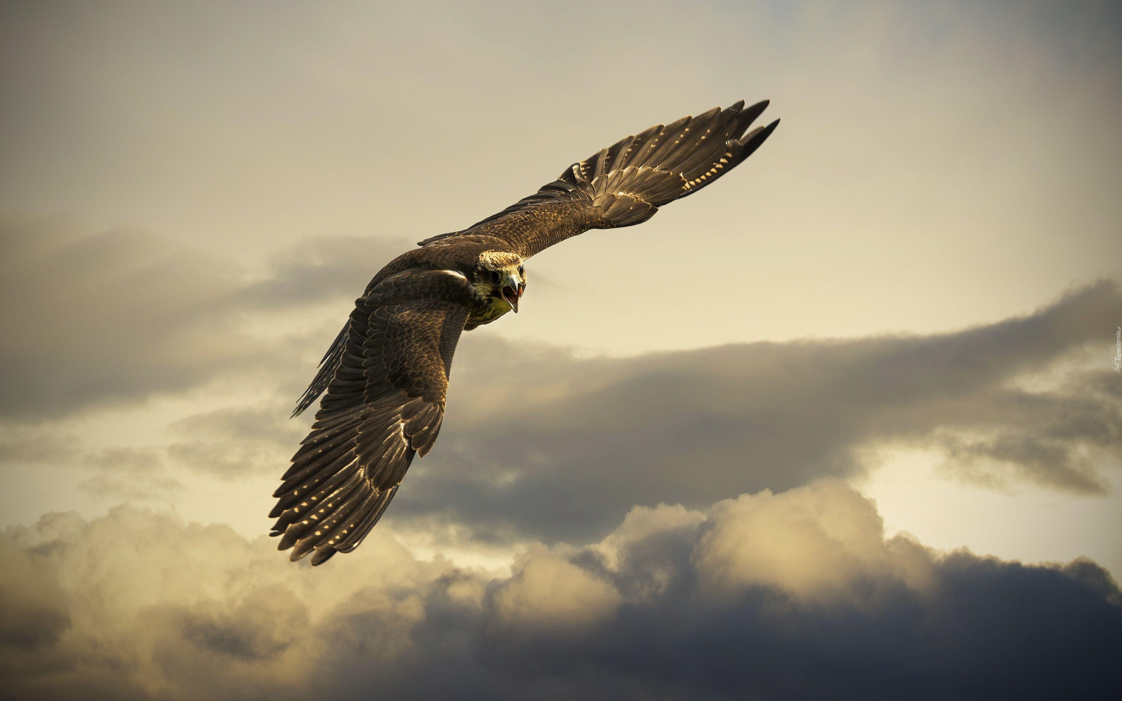 234675 Sokol W Locie Chmury Jpg 3840 2400 Eagle Wallpaper Animal Wallpaper Pet Birds