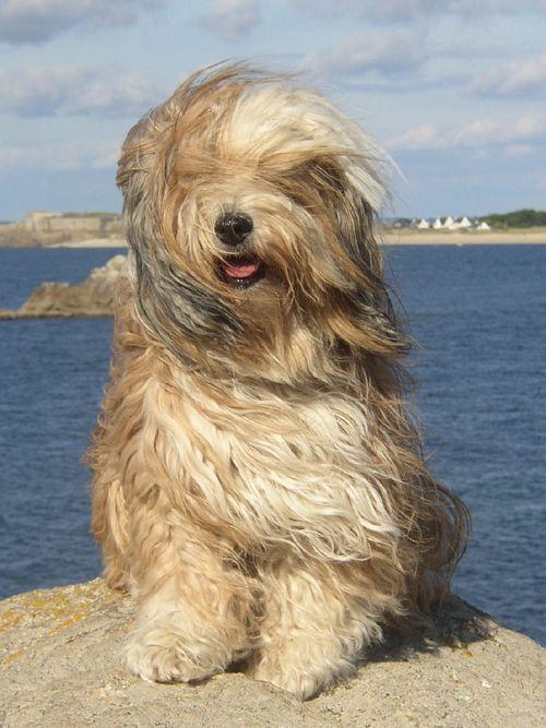 Evita In Der Bretagne Tibet Terrier Welpe Tibet Terrier Hunde