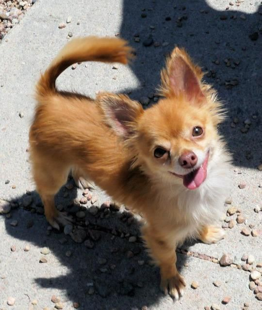 pomeranian and chihuahua mixed i found trick on pomeranian mix 5912