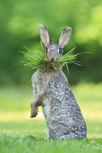 Google+Bunny with a mouthful. :)