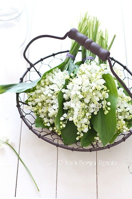 lily of the valley ❥