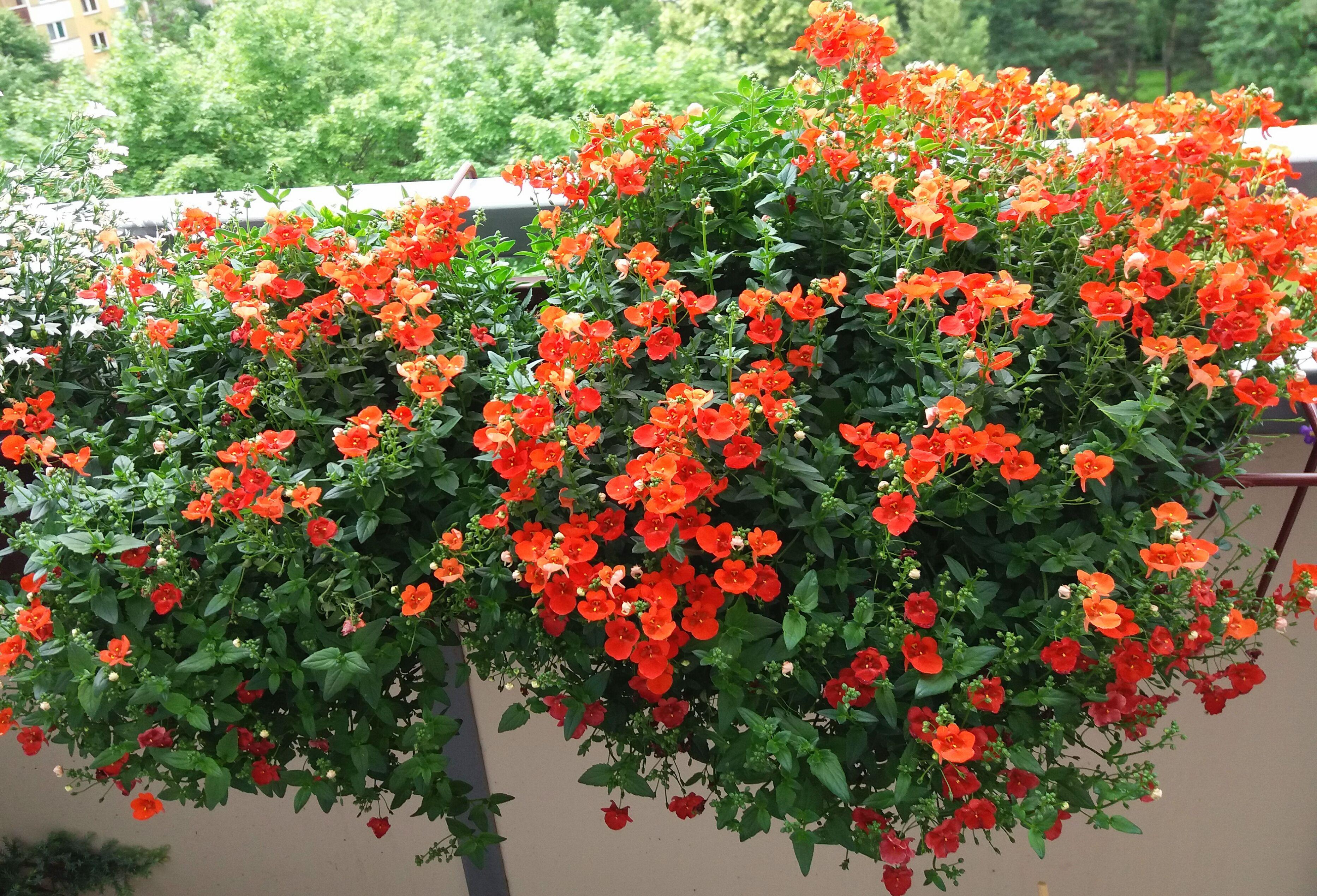 Diascia elegans 'Divara Orange' - ostruhatka | Zahrada