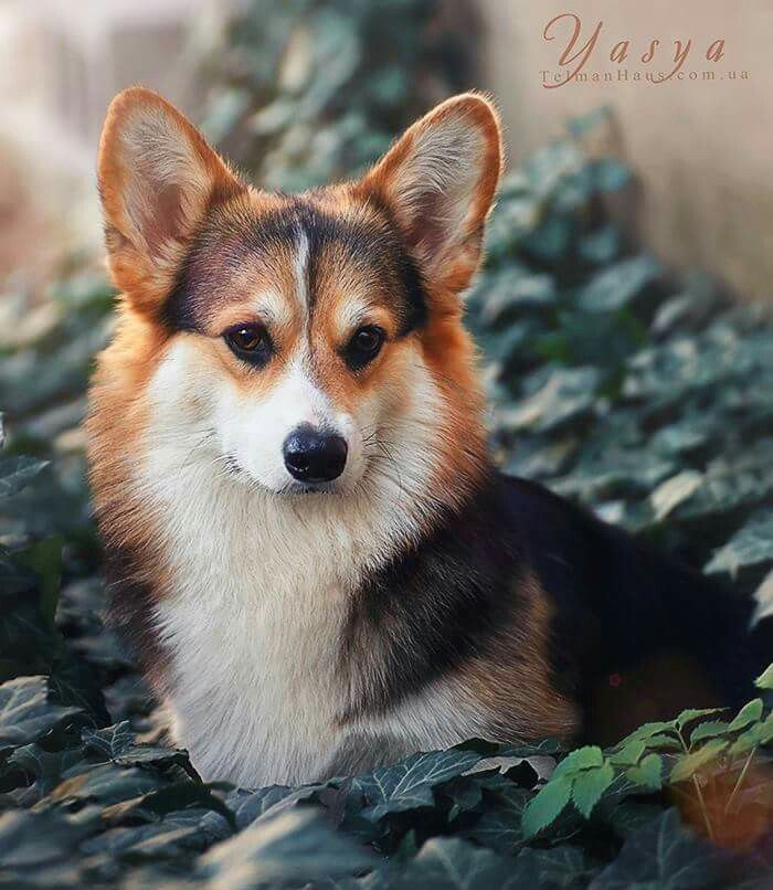 A Gorgeous Red Headed Tri Corgi Cute Dogs Cute Corgi Cute Animals