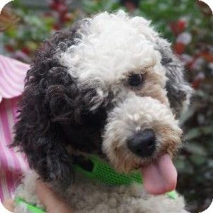 Miniature Poodle Mix Came All The Way From Puerto Rico And Is