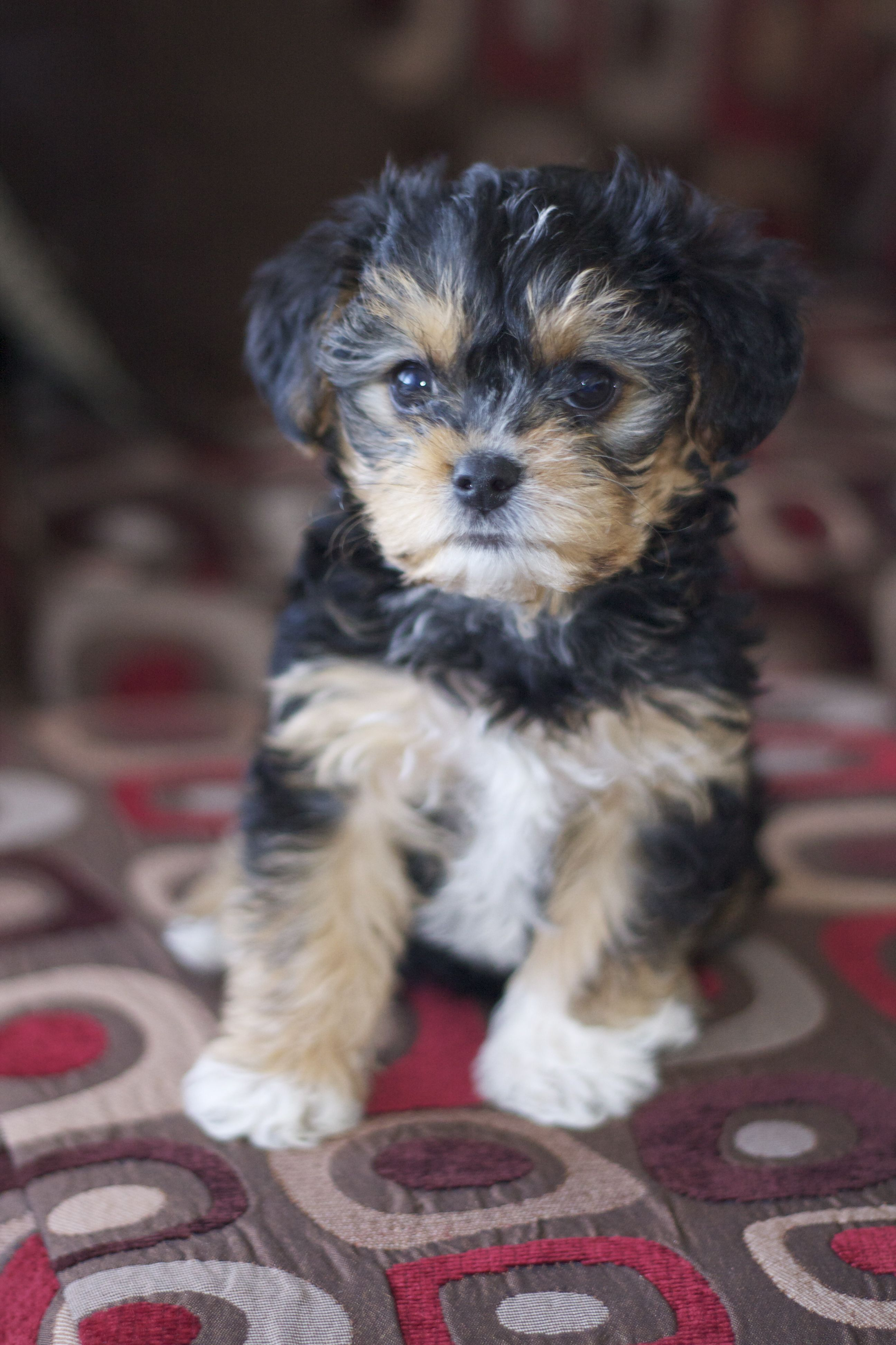 Yorkie Poo Chris And I Want One Of These For Our Next Dog But