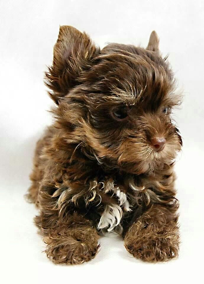 Pin Pa Yorkie And Puppy Love