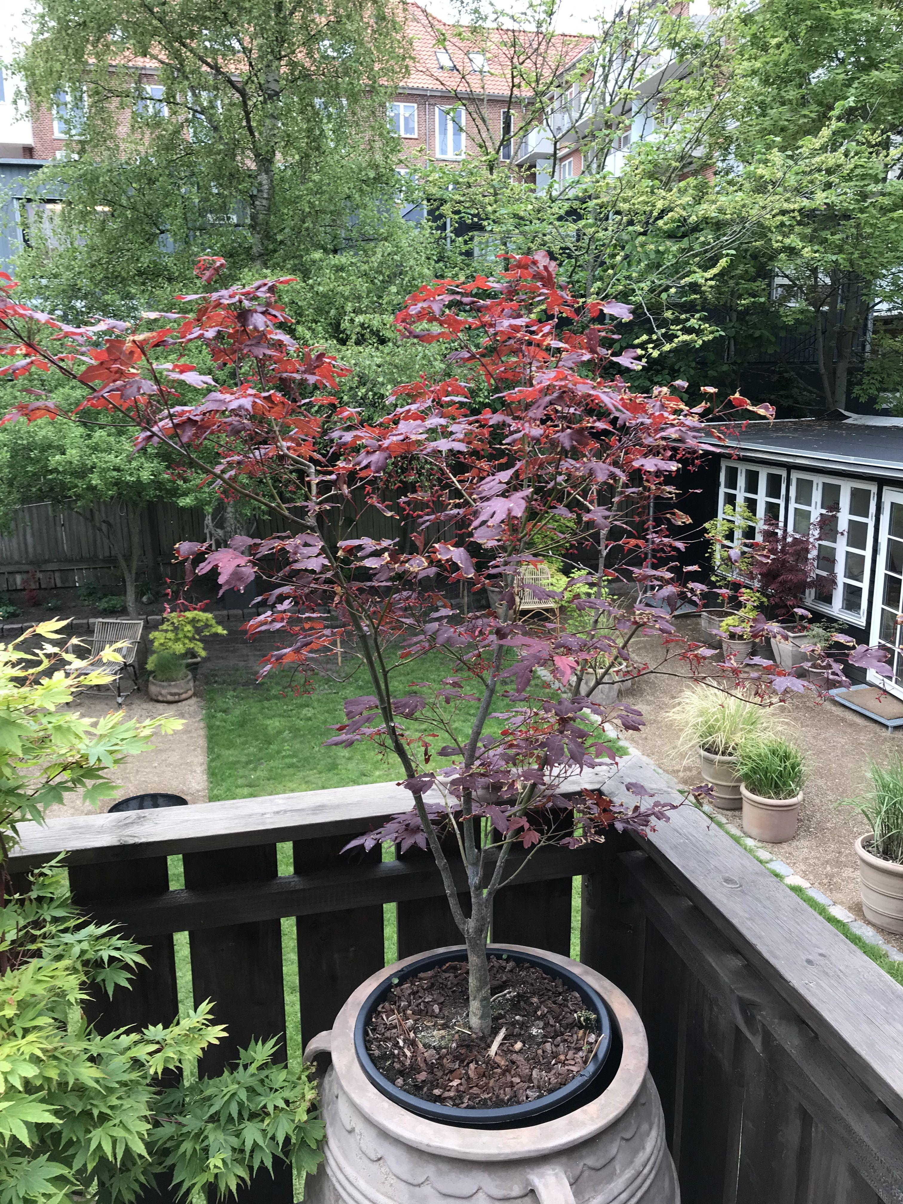 Acer Palmatum Atropurpurerum Japanesemaple Atropurpurerum Acer