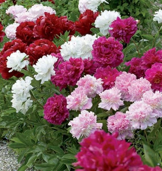 5 Double Peony Plants Mixed 2 3 Eyes Best Selling Colection Pack Of 5 Bare Root Fragrant Hardiness Zones 3 9 Planting Peonies Flower Garden Flowers