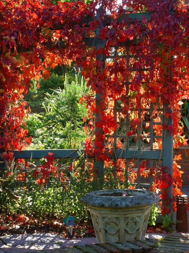 Parra virgen | Plantas de follaje, Huerto vertical, Jardineria vertical