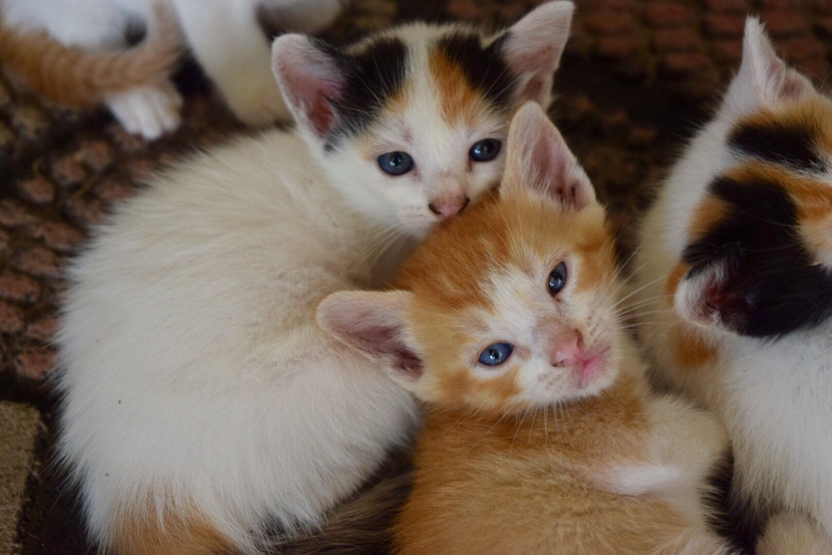 Save A Life Foster Adopt Rescue Louisiana Kitten Foster Adopt Rescue Calico Babycat Cat Ffr Savethemall Kittens Cats Animals