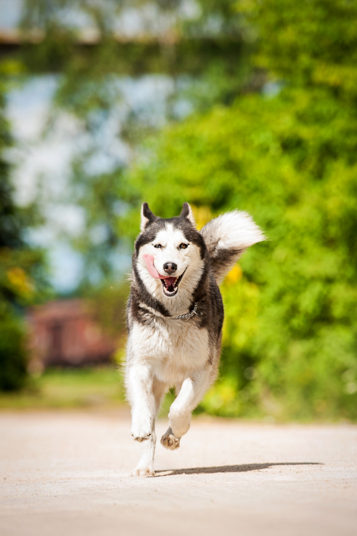 Siberian Husky Dog Running In Summer Siberianhusky Siberian Dog Husky Dogs Siberian Husky