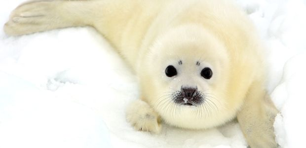 Ever heard of the harp seal? This #WildlifeWednesday, learn why these Arctic cuties are treading on thin ice. alive.com