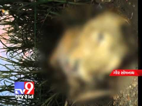 A lioness got electrocuted in Mathasurya village in Junagadh's Talala taluka. This is the third incident in last two months where lions have been electrocuted in Gir forest.