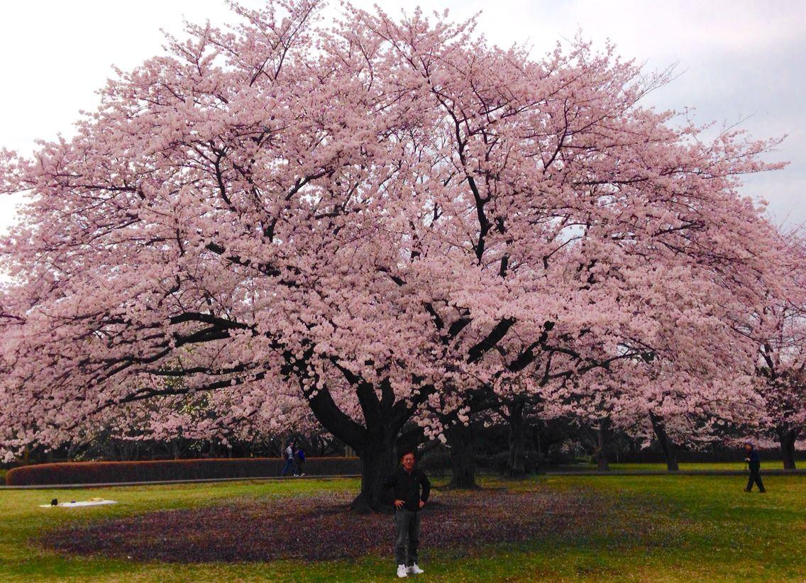 Big Sakura Tree Ooba Castle Park Fujisawa Japan Pohon Sakura