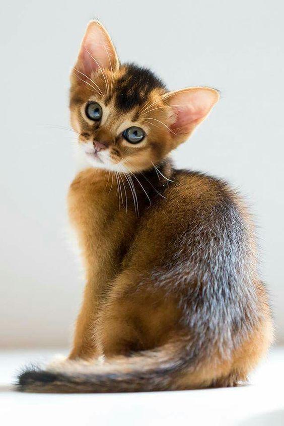 Abessinier Kätzchen. Bilder der abessinischen Katzen- und Kätzchenrasse #Abyssinian #C ... - #abessinier #abessinischen #abyssinian #bilder #der #katzchen #katzchenrasse #katzen #und #catbreeds