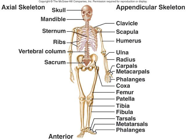 appendicular skeleton labeling worksheet Termolak – Appendicular Skeleton Worksheet