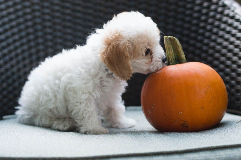 Cavapoo Puppy Cavoodle Pumpkin And Puppy White Cavapoo White Puppy Cavapoo Puppies Cavapoo Puppies