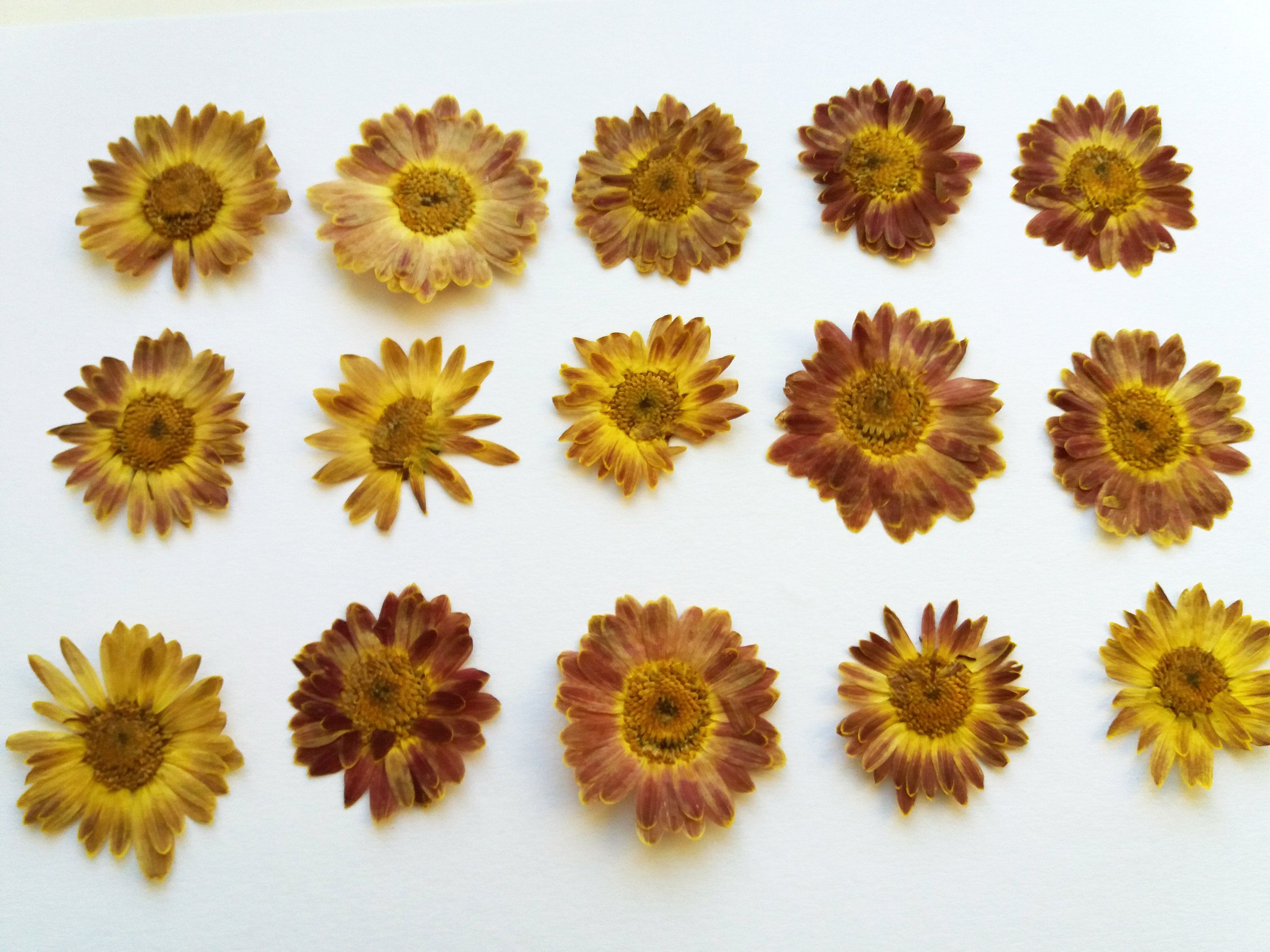 15 Pressed Flowers Chrysanthemums For Crafting Scrapbooking Card Making For Art Real Dried Flowers Natural Orange Chrysanthemums In 2020 Pressed Flowers Dried Flowers Chrysanthemum