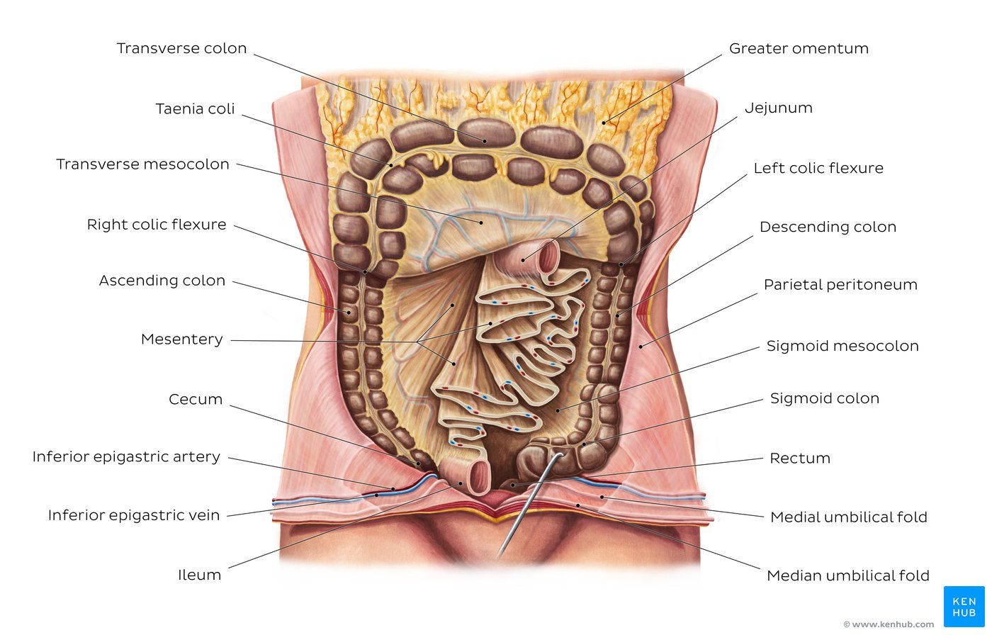 hight resolution of mesentery overview