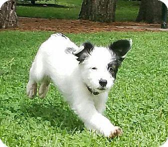Fort Collins Co Border Collie Mix Meet Elsa Denver A Puppy For Adoption Puppy Adoption Kitten Adoption Collie Mix