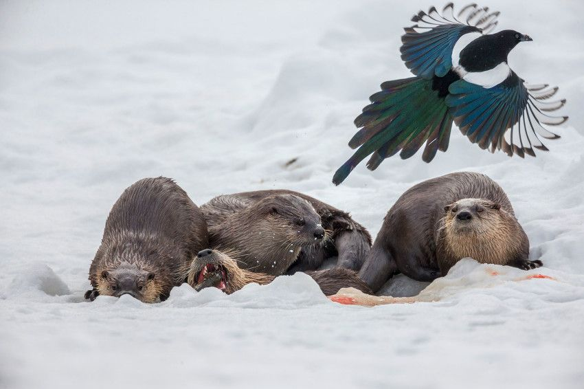 A group of otters feed on a fish caught under the ice. During the winter months, when food is scarce, magpies will follow the otters as they fish, hoping to steal whatever morsels they can. They'll even eat their droppings. Photo by Hamilton James.