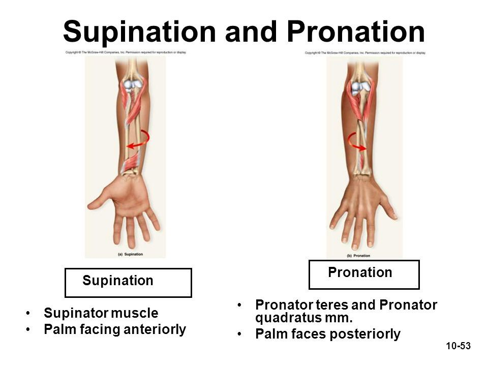 Supination and pronation of the forearm: Supinator, (not shown Biceps  brachii),