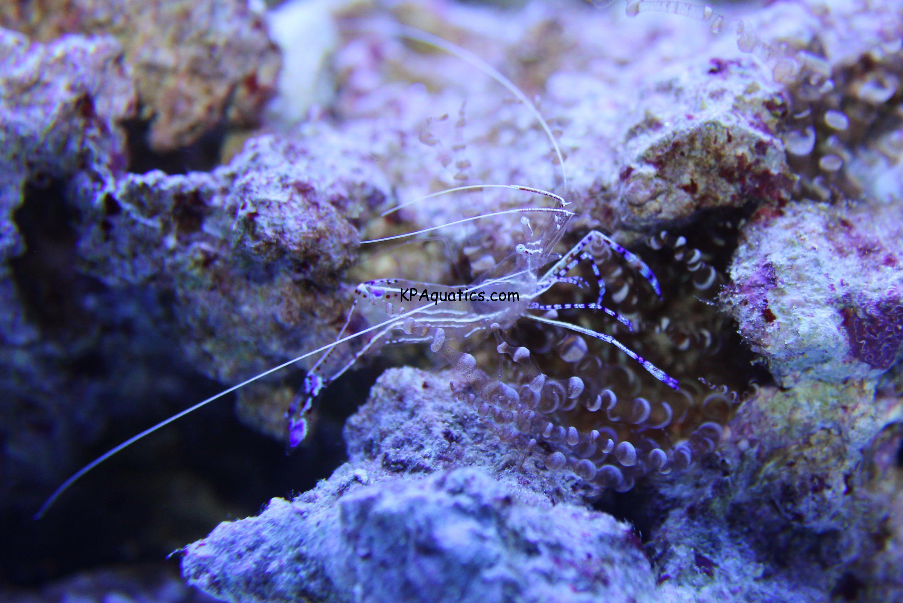 Anemone Shrimp Pederson Kp Aquatics Anemone Nano Tank Types Of Fish