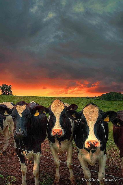 Cows In Field Med Billeder Billeder Dyr Smukke Billeder