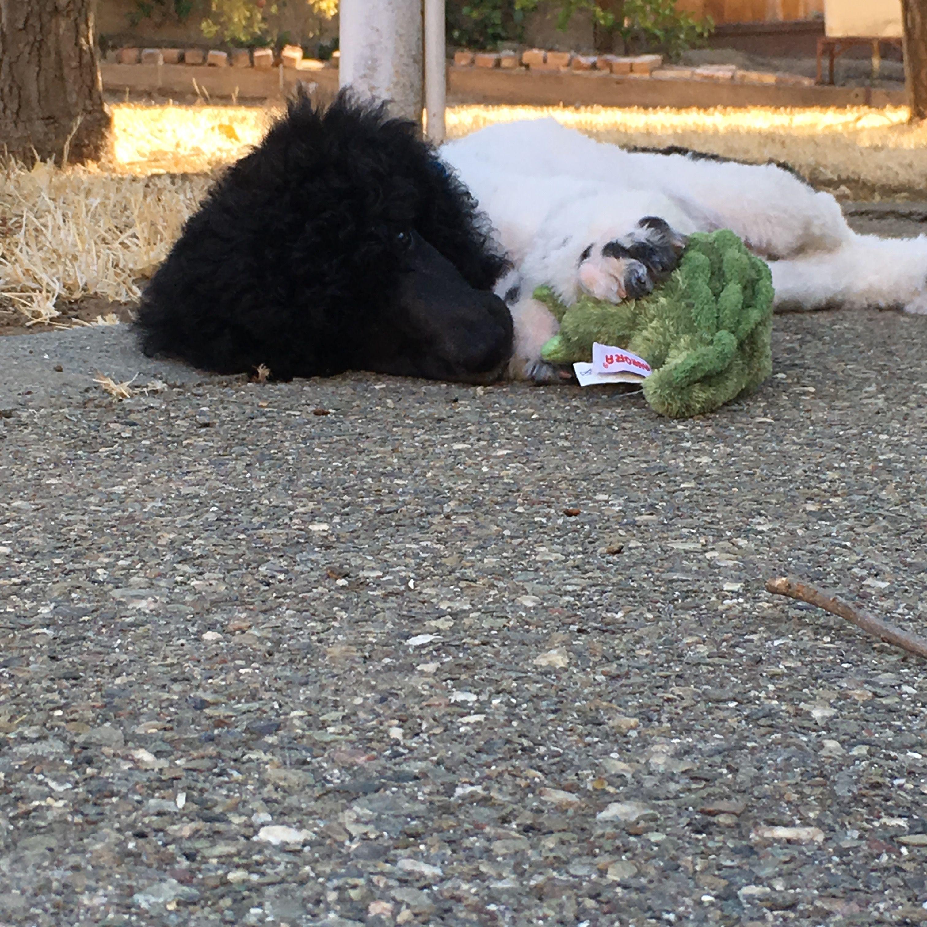 Dipper the black parti standard poodle puppy. Poodle