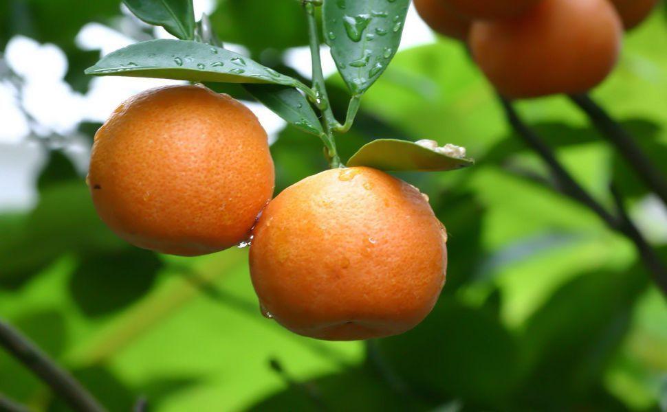 Mandarin Tree HD Wallpaper Orange FruitOrange