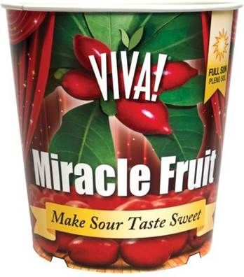 Miracle Fruit is unique fruit that makes sour foods taste sweet.  It has been featured on popular television shows and as an aid to help those undergoing chemotherapy to regain their appetite.   This tropical plant will bloom and fruit outdoors throughout the warmer months but should be brought indoors during the cooler season to avoid frost damage.