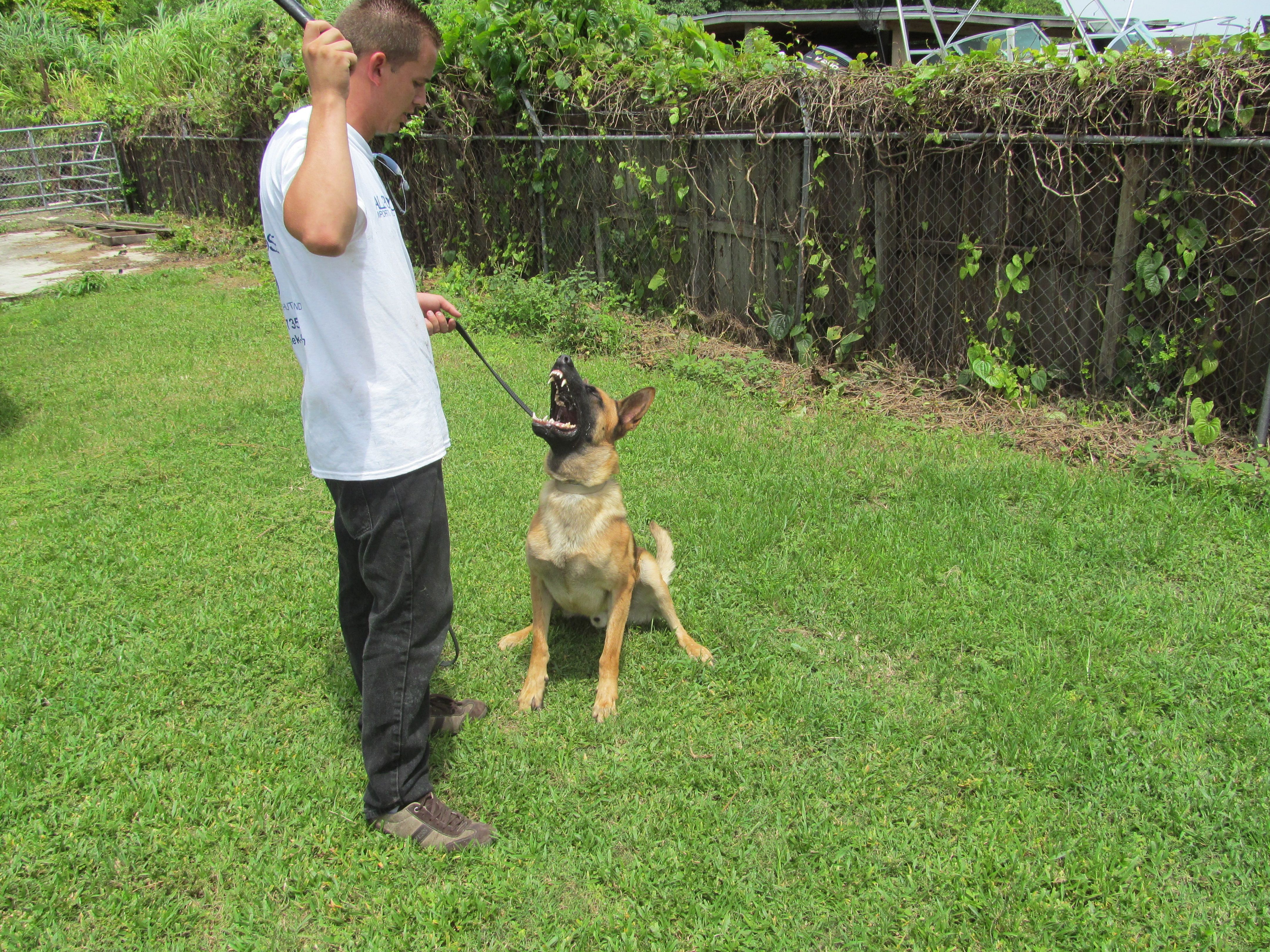 Trained Dogs For Sale Miami All Purpose K 9 Trained Dogs For
