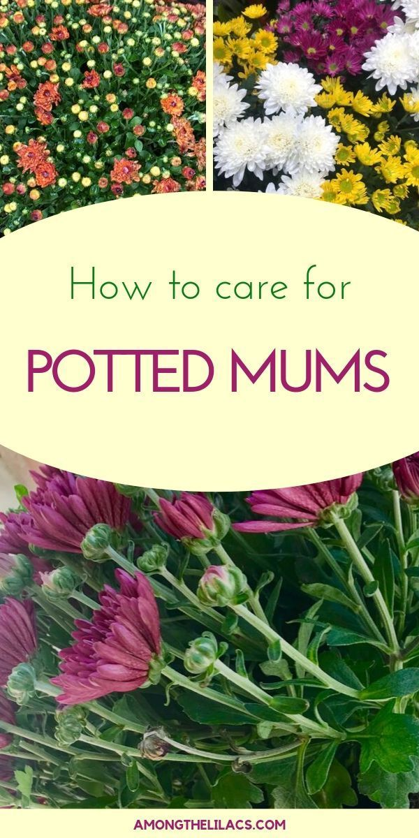 How to Care for Potted Garden Mums - Among the Lil