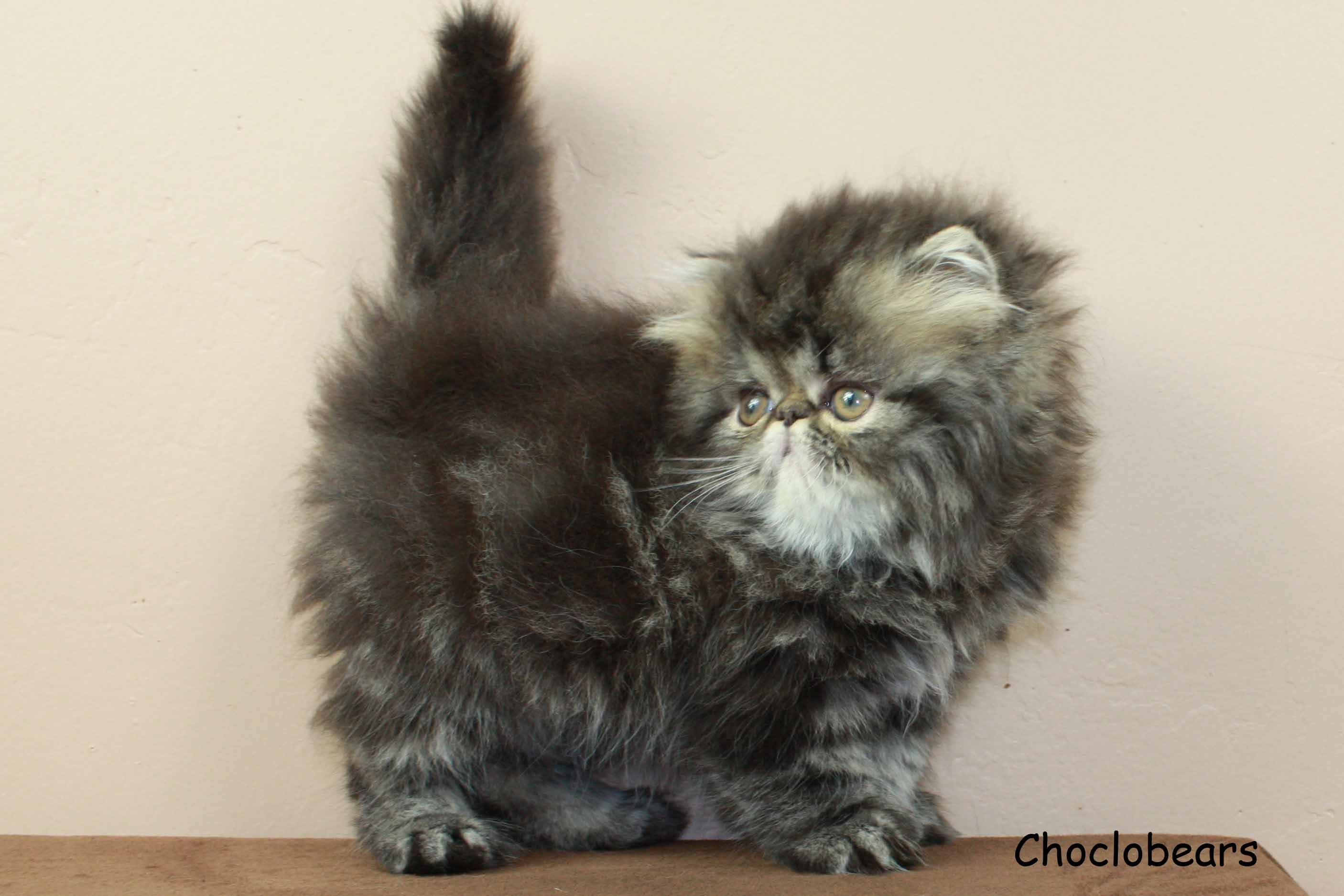 Pin On Choclobears Exotic Shorthair Persian And Himalayan Cats