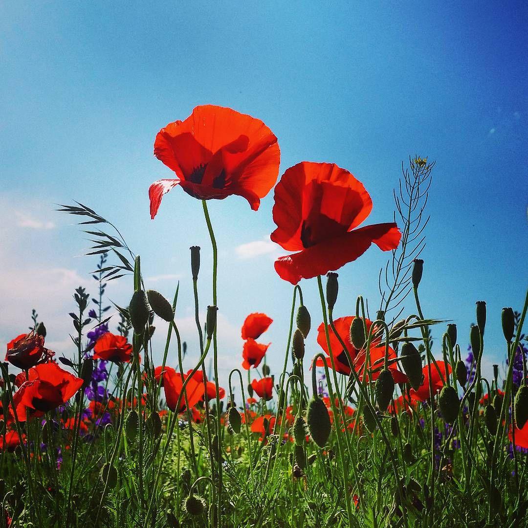 Another wonder of turkey is the beautiful poppy flowers which can be another wonder of turkey is the beautiful poppy flowers which can be found all around turkey photo by ahmethrmnc turkey poppy flowers nature mightylinksfo