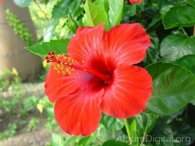 Name Puertorriqueno: Flor De Maga Tattoo - Google Search