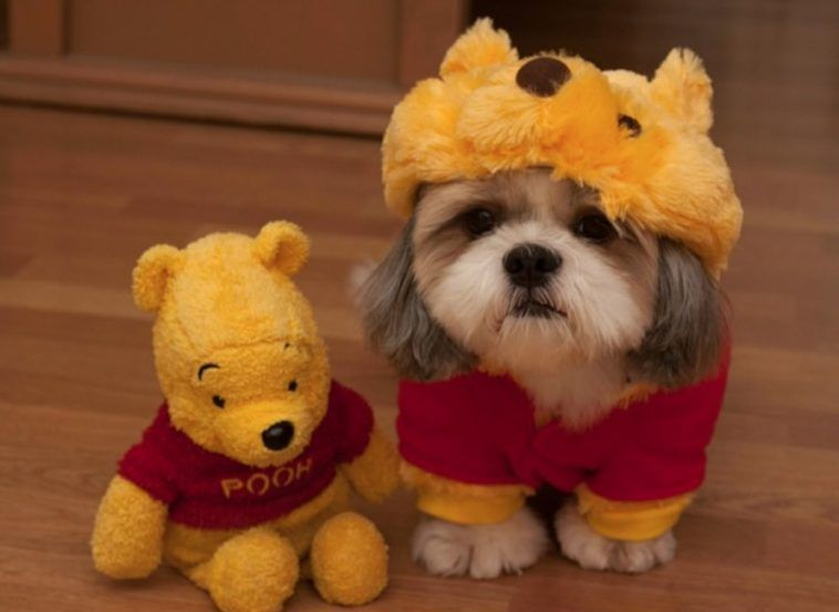 60 Cute Shih Tzu Dogs In Halloween Costumes Cute Dog Clothes