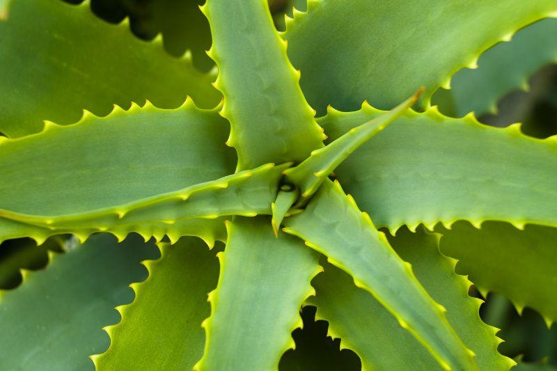 Aloes Zwyczajny Aloe Vera Aloe Vera Healthy Living Aloe Vera Gel Drink
