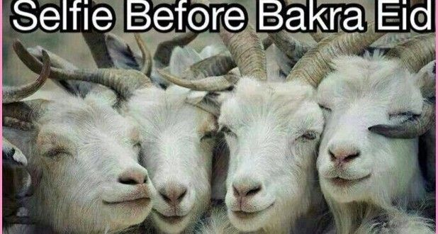 Bakra Eid Funniest Hd Wallpapers 2015 Funnyimage
