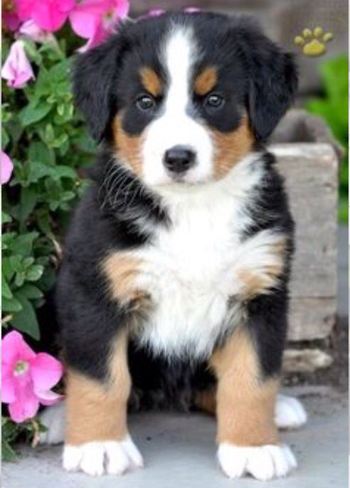 Bernie Puppies Mountain Dogs Bernese Mountain Dog Puppy