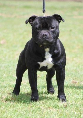 Uk Int Ch Tillcarr Tillerman Staffordshire Bull Terrier