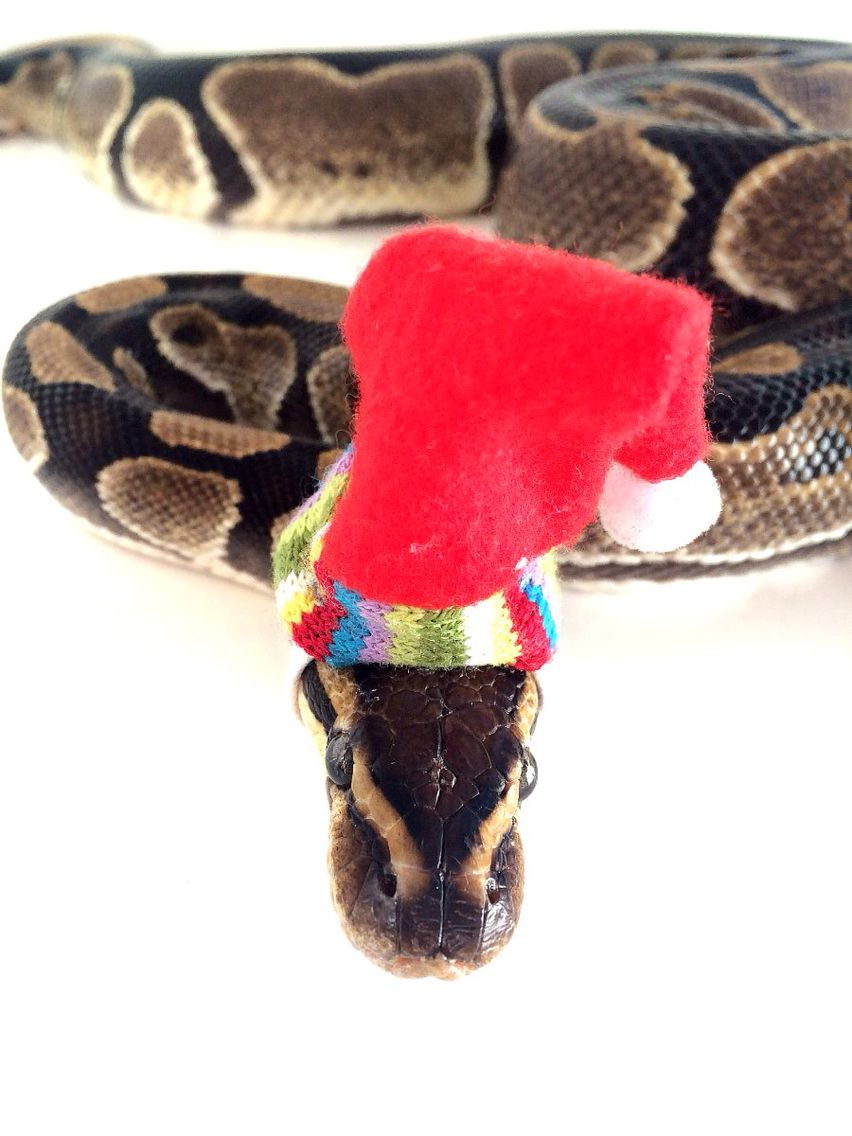 Ball python in a Santa hat Christmas snake holiday elf ... Cute Ball Python With Hat