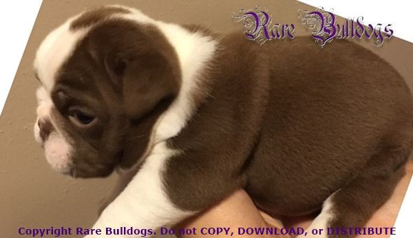 Akc Chocolate Seal English Bulldog Girl Cotour English Bulldog