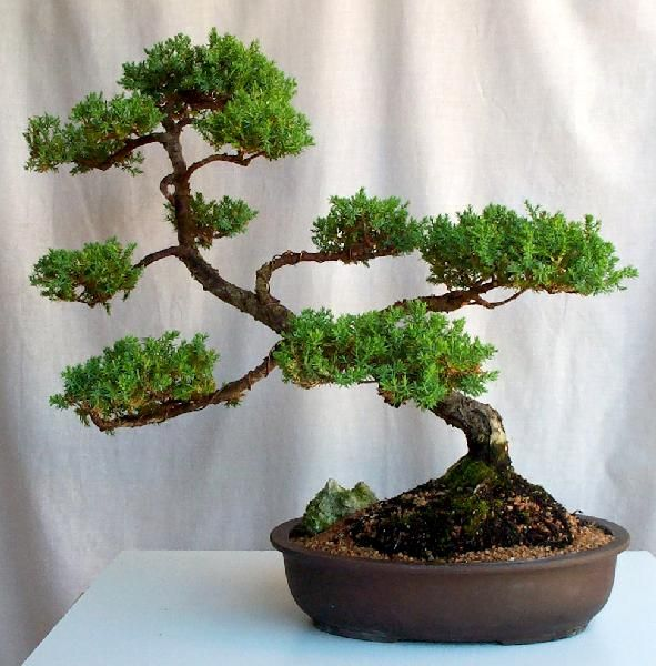 juniperus chinensis chinese juniper great western australia bonsai shop bonsai suiseki. Black Bedroom Furniture Sets. Home Design Ideas