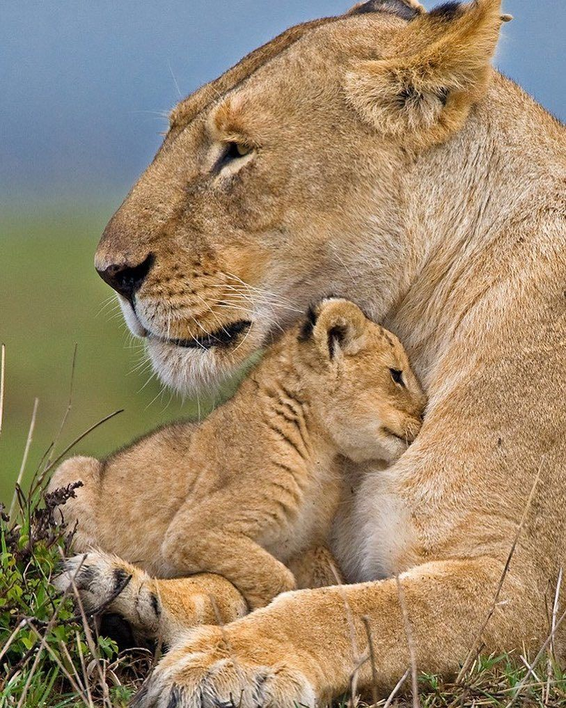 Shelter by © wildmanrouse A young lion cub snuggles into the safety of a watchful mothers chest.