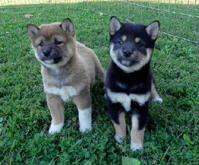 Shiba Inu Shiba Inu Puppies Home Raised Excellent Health Temperments Black Red Creams Breeder In Mn Puppies Cute Animals Shiba Inu Puppy