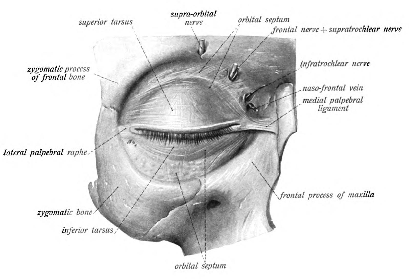 Charmant Orbital Definition Anatomie Bilder - Anatomie Ideen ...