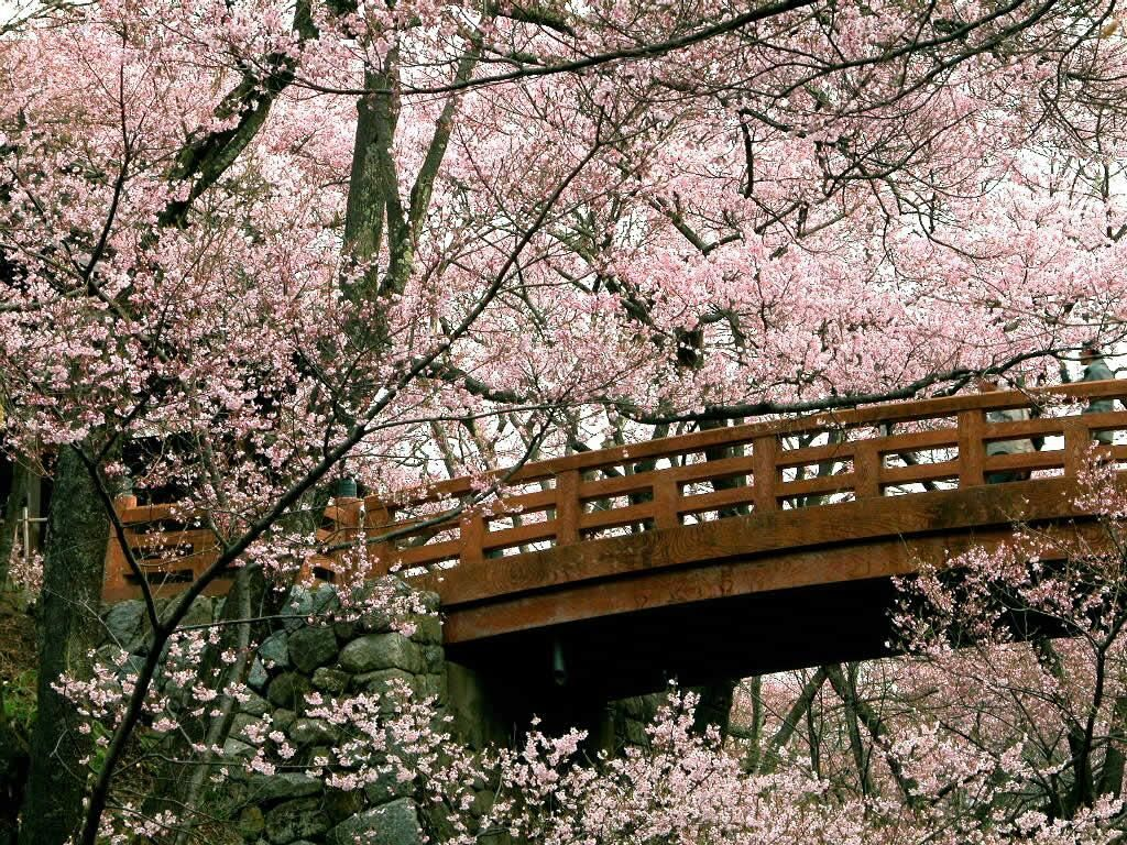 I Want To Find A Place That S Just Covered In Cherry Blossoms Cherry Blossom Wallpaper Spring Wallpaper Blossom Trees